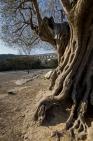 Spanish Olive tree