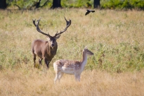 Both Red and Fallow deer can be seen