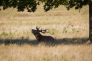 Taking it easy under a tree but still making sure the other stags know who's boss!