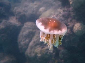 This tiny jelly was less than 10cm across