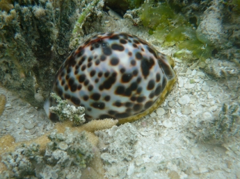 Cowrie shell in the shallows