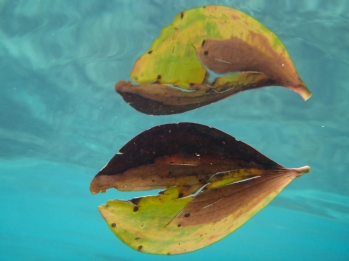 A leaf suspended just under the water
