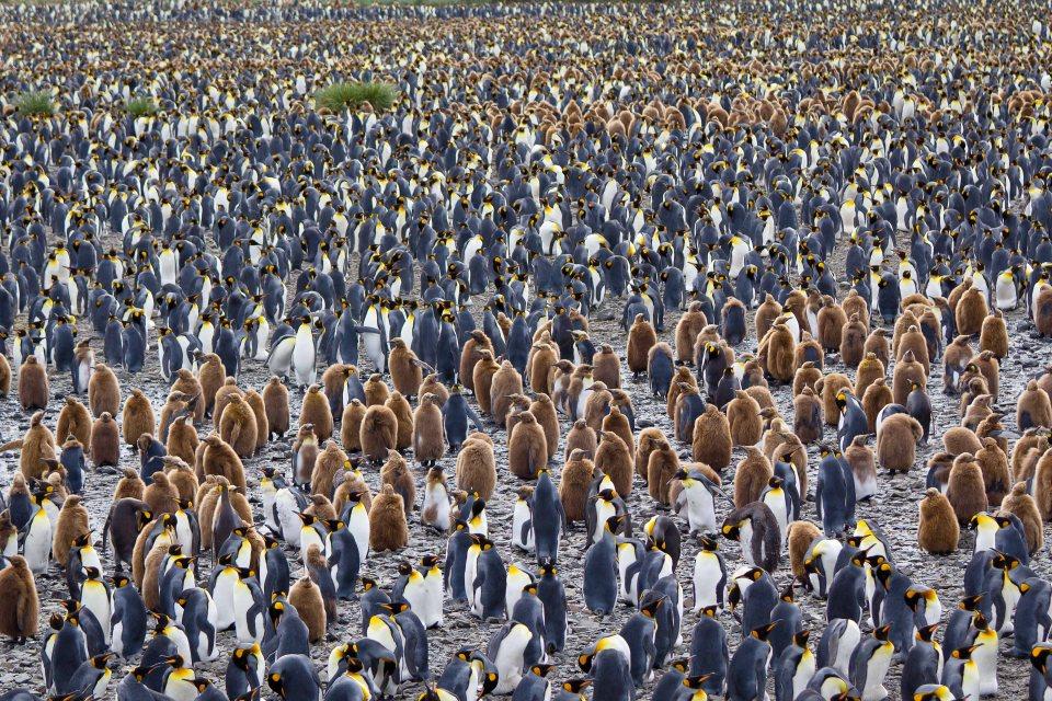 Antarctica_King penguin colony_Dec10-9327