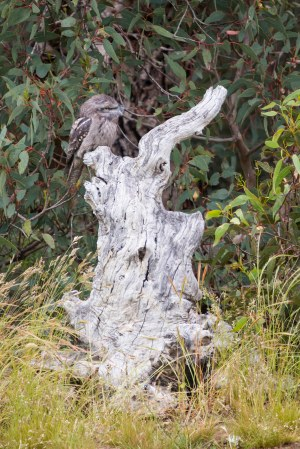 Spot the Tawny Frogmouth