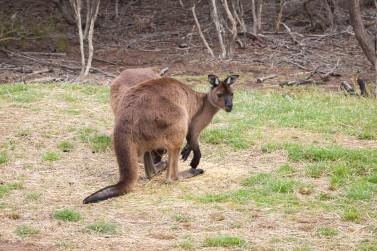 Kangaroo Islands namesake